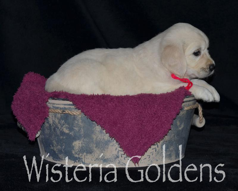 harper050120 Five Week Pictures. English Cream Golden Retriever puppy pictures. Wisteria Goldens.