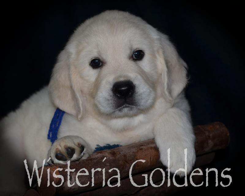 #marley042420 puppy pictures Six Weeks and Playtime Video English Cream Golden Retriever puppies raised Wisteria Goldens as part of our family until they are part of yours.