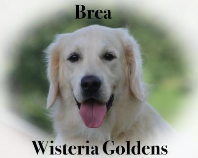 Bre Wisteria Goldens English Cream Golden Retriever Our Dogs