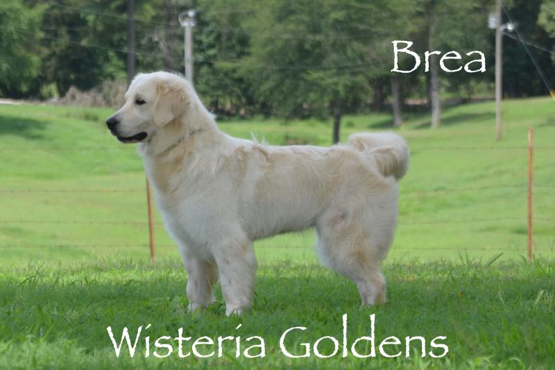 Brea English Cream Golden Retriever Wisteria Goldens our Dogs Cream Golden Retriever Wisteria Goldens our Dogs