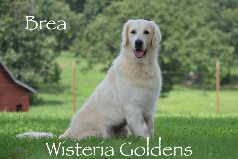 Brea English Cream Golden Retriever Wisteria Goldens our Dogs