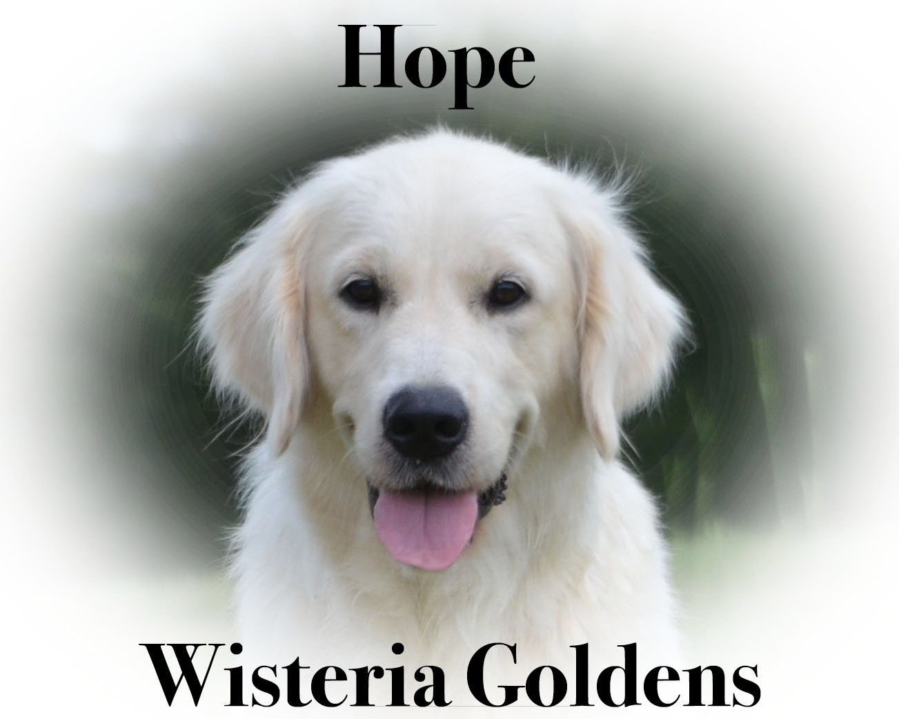 Hope Wisteria Goldens English Cream Golden Retriever Our Dogs
