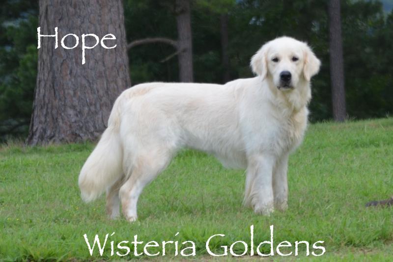 Hope English Cream Golden Retriever Wisteria Goldens