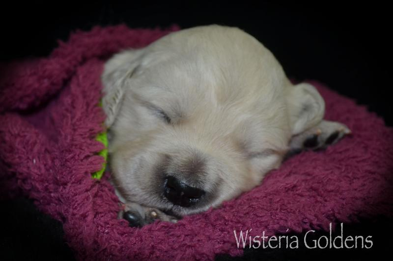 Keeva Litter Born 07-05-2020 English Cream Golden Retriever Puppy Pictures Wisteria Goldens