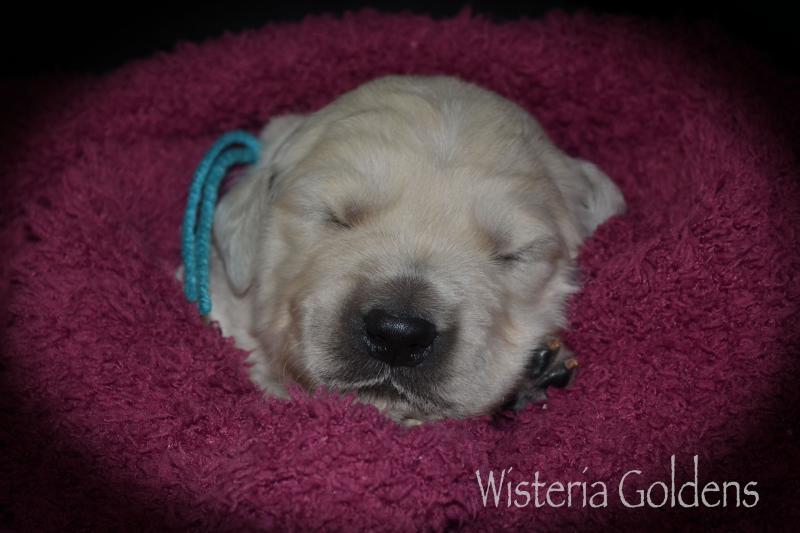 Keeva Litter Born 07-05-2020 English Cream Golden Retriever Puppy Pictures Wisteria Goldens