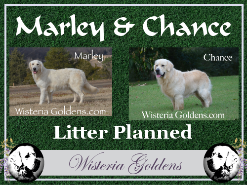 Marley Chance Planned Litters English Cream Golden Retriever puppies Wisteria Goldens