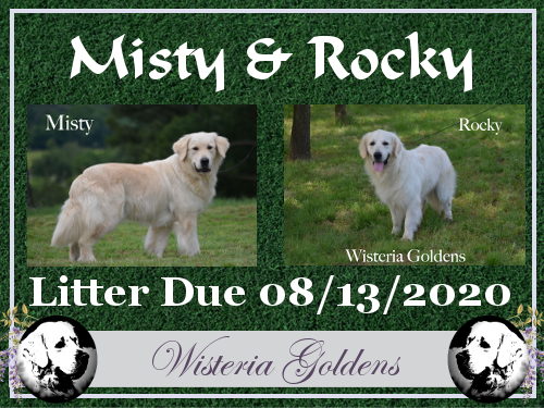Available Puppies English Cream Golden Retriever Misty/Rocky Litter Due 08-13-2020