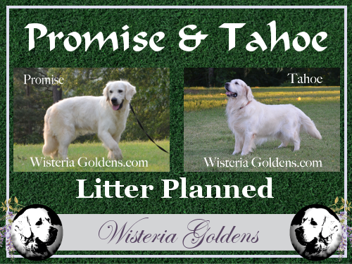 Planned Litter Promise/Tahoe English Cream Golden Retriever puppies. Wisteria Goldens