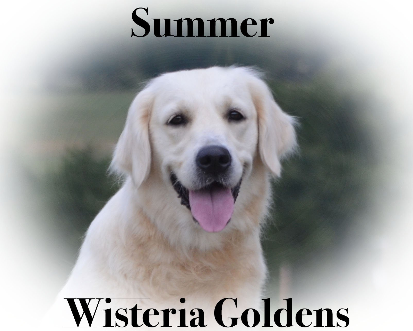 "Wisteria Goldens ""Summer"" Love English Cream Golden Retriever"