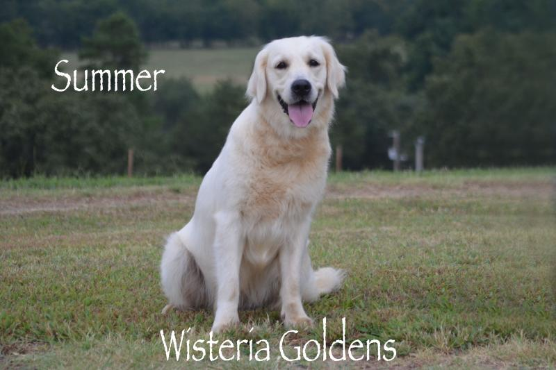 "Summer Wisteria Goldens ""Summer""  Love English Cream Golden Retriever - Wisteria Goldens - Our Dogs"