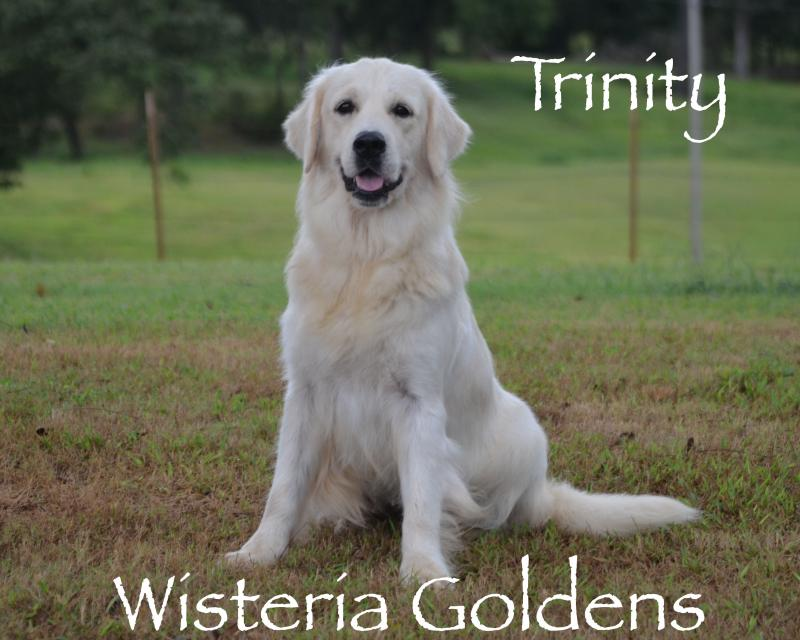 "Trinity Wisteria Trinity Bright Love ""Our Faithful Ole Soul"" English Cream Golden Retriever Wisteria Goldens Our Dogs"