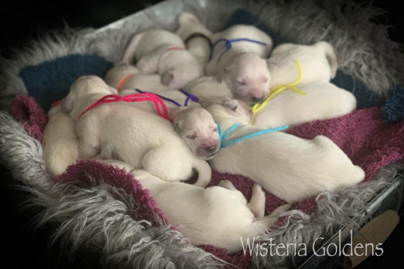 brea litter born 08-07-2020 Brea/Ego Litter English Cream Golden Retriever puppies. Wisteria Goldens