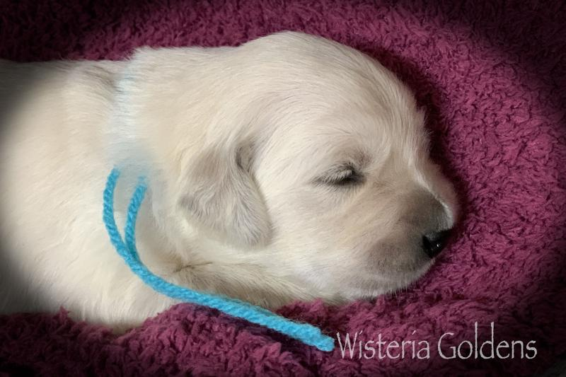 brea litter born 08-07-2020 English Cream Golden Retriever puppies. Two Week Puppy Pictures. Wisteria Goldens