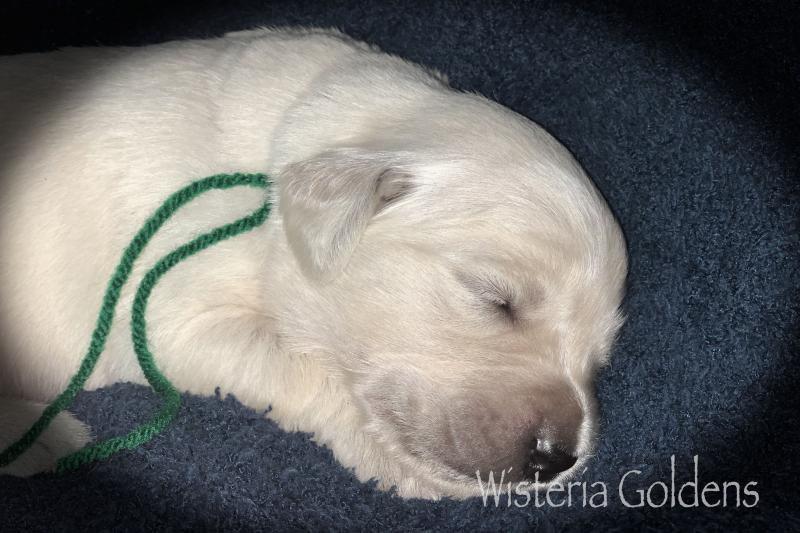 hope litter born 08-07-2020 Hope/Tahoe Litter English Cream Golden Retriever puppies. Wisteria Goldens