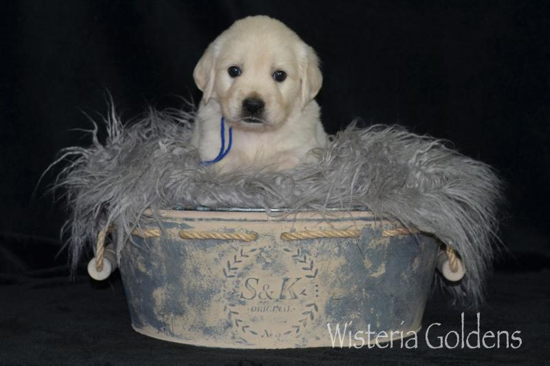 keeva070520 english cream golden retriever puppy pictures Five Weeks Wisteria Goldens