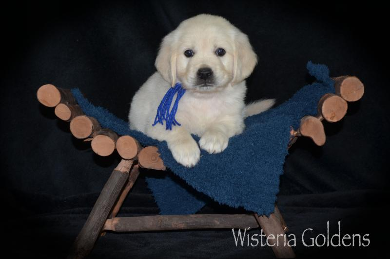 keeva litter born 07-05-2020 English Cream Golden Retriever puppies. Six Week Puppy Pictures. Six Week puppy playtime video on Litter page. Wisteria Goldens