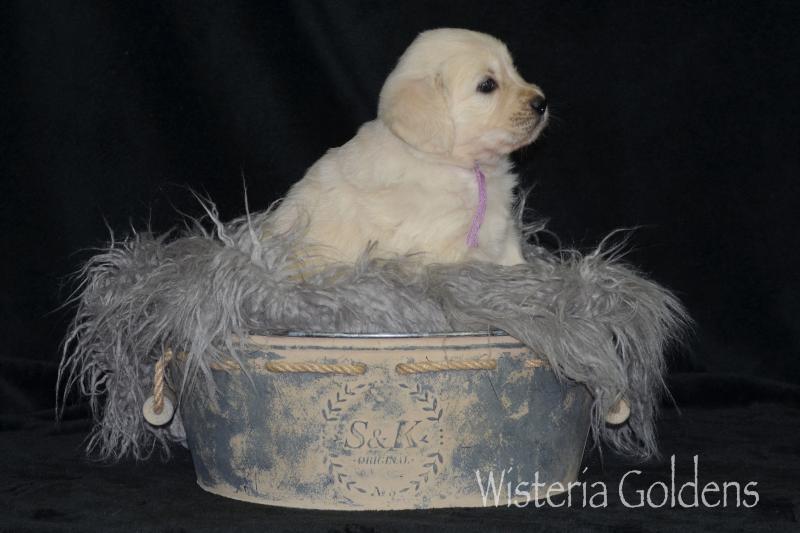 keeva070520 english cream golden retriever puppy pictures Five Weeks Wisteria Goldens