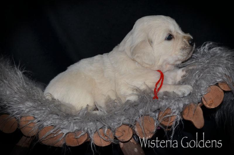 Keeva (Piper/Ego) & Chance – Litter Born 07-05-2020. All puppies are spoken for.