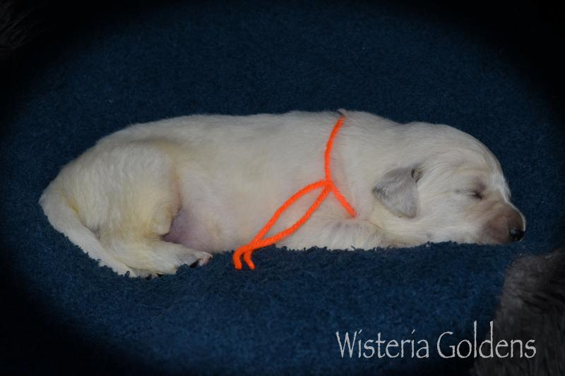 Misty Litter Born 08-12-2020 Two week puppy pictures English Cream Golden Retriever Wisteria Goldens
