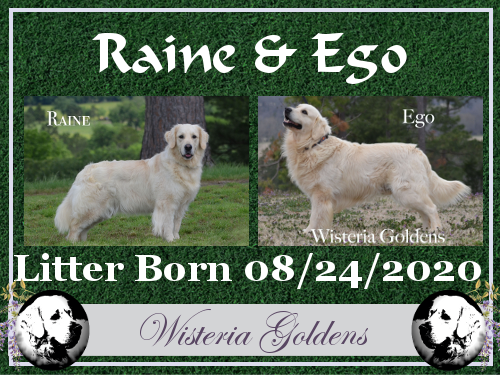 "Raine/Ego Wisteria Tropical ""Raine"" Sunnyfield's Goldens Egoist ""Ego"" Litter Due 08/23/2020."