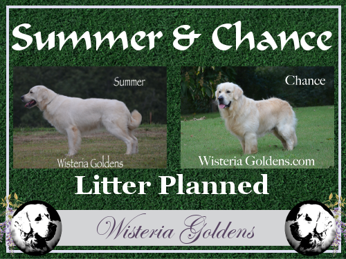 Available Puppies English Cream Golden Retriever Puppies Brighton (Jazz/Ego) & Chance Wisteria Goldens