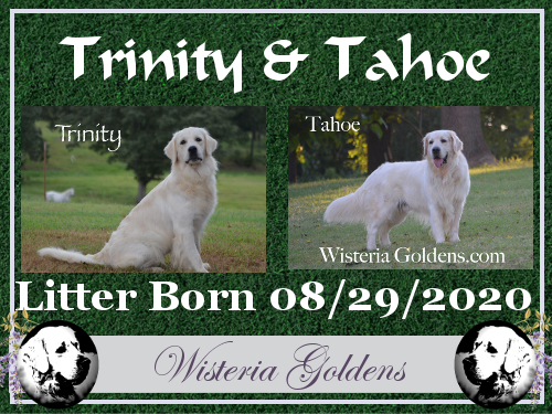 Trinity Litter born 08-29-2020 Trinity/Tahoe English Cream Golden Retriever puppy litter Wisteria Goldens
