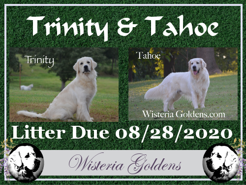 Trinity/Tahoe upcoming English Cream Golden Retriever puppy litter Wisteria Goldens