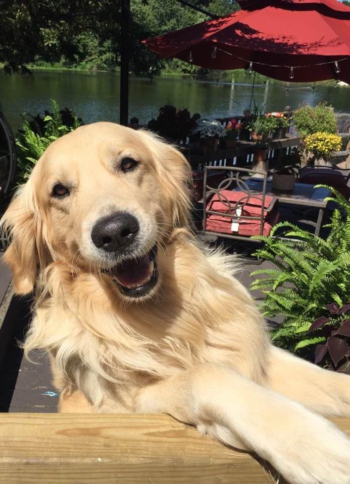Max Shasta/Harley Wisteria Goldens Happy Families Puppy Update