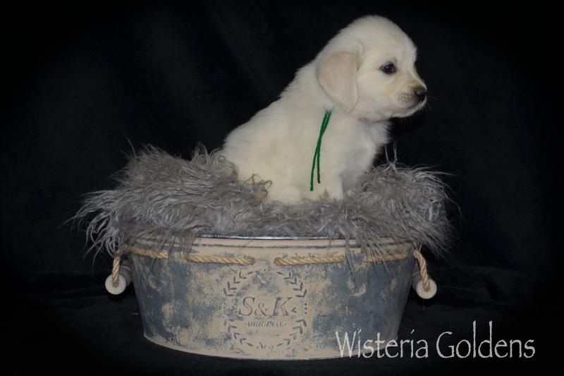 Brea litter five week pictures #brea080720 English Cream Golden Retriever puppy pictures