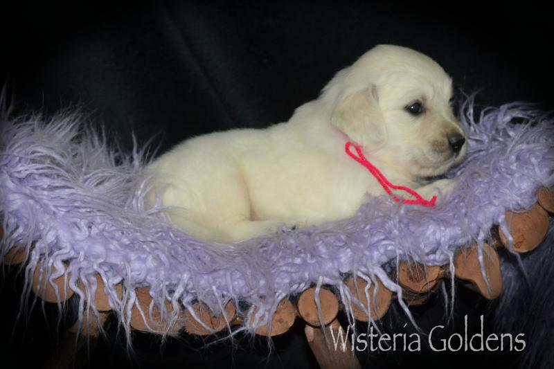 Brea Litter Born 08-07-2020 English Cream Golden Retriever puppy pictures #brea080720 Wisteria Goldens raised as part of our family until they are part of yours.