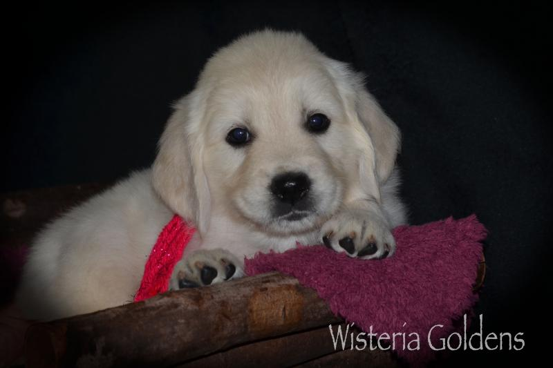 Brea Litter SIX Week Pictures #brea080720 English Cream Golden Retriever puppies Wisteria Goldens