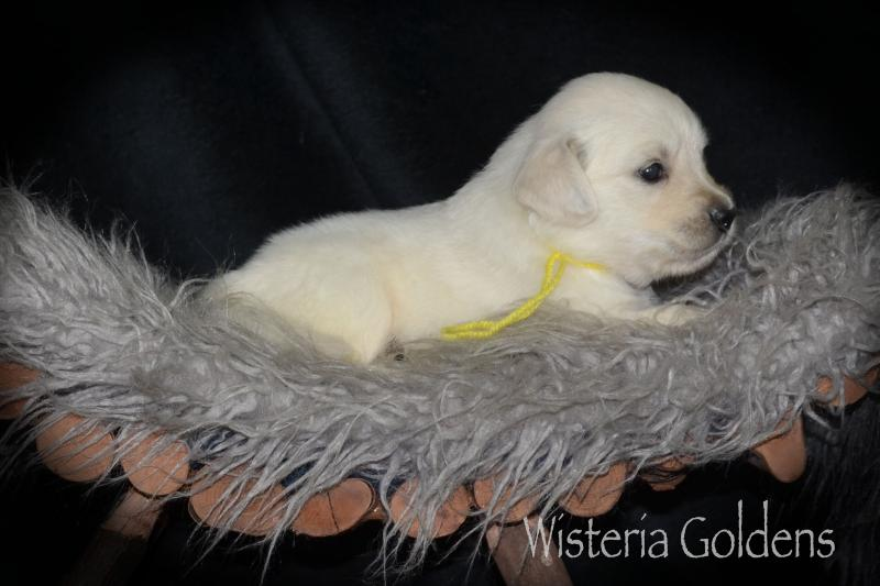 English Cream Golden Retriever puppy pictures #brea080720 Wisteria Goldens raised as part of our family until they are part of yours.
