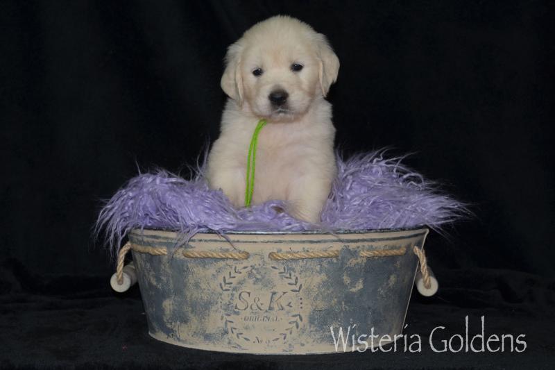 hope 08-07-2020 english cream golden retriever puppy pictures