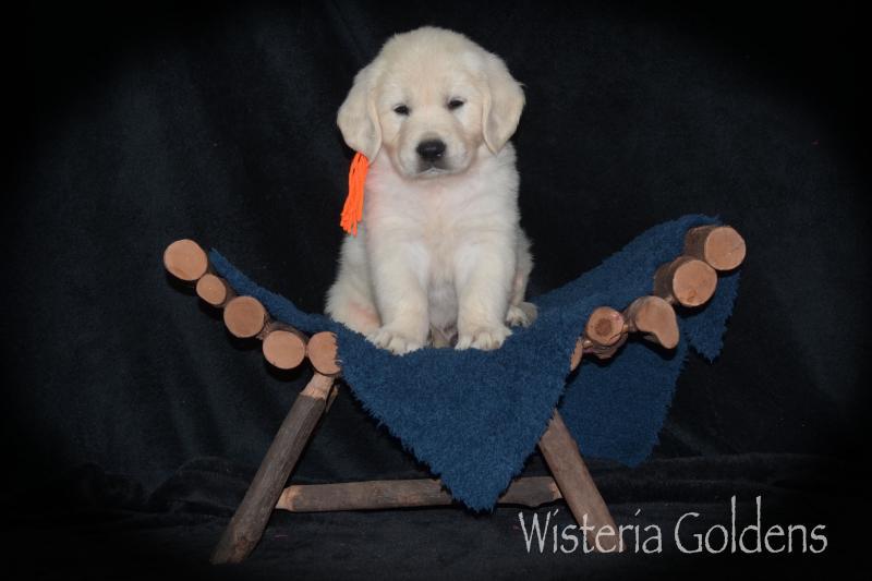 Hope Litter SIX Week Pictures #hope080720 English Cream Golden Retriever puppies Wisteria Goldens