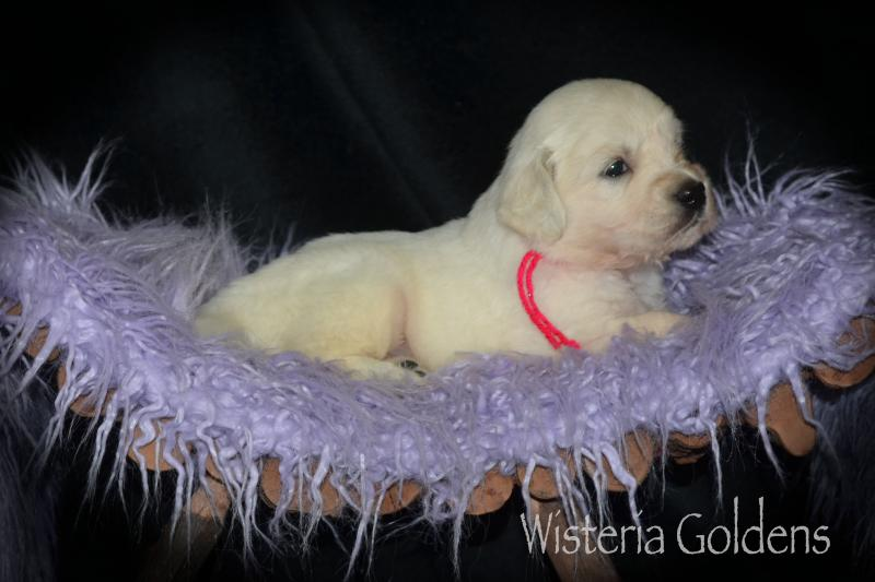 Hope Litter Born 08-07-2020 English Cream Golden Retriever puppy pictures. Wisteria Goldens raised as part of our family until they become part of yours.