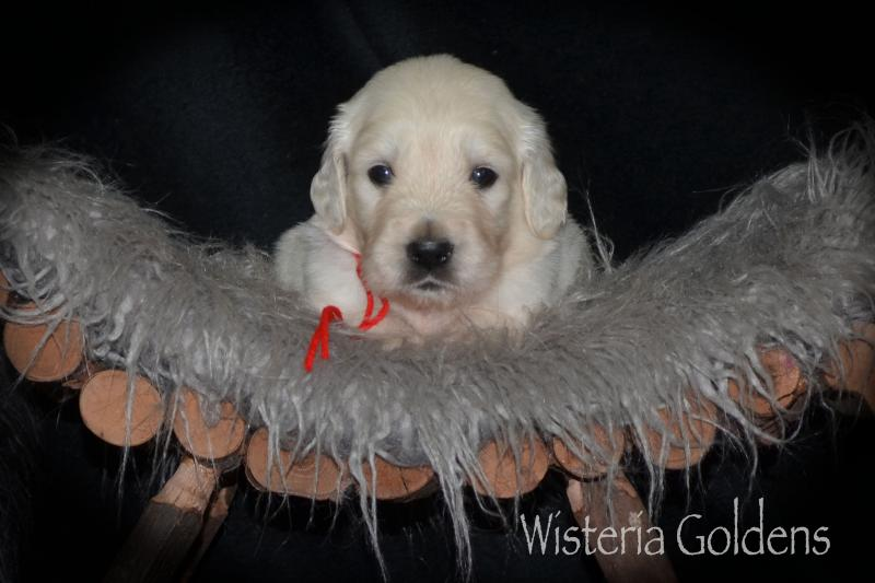 Hope Litter Born 08-07-2020 English Cream Golden Retriever puppy pictures. Wisteria Goldens raised as part of our family until they become part of yours. #hope080720