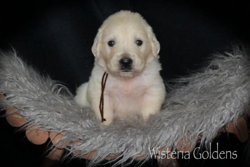 english cream golden retriever puppy pictures four weeks Wisteria Goldens #misty081220