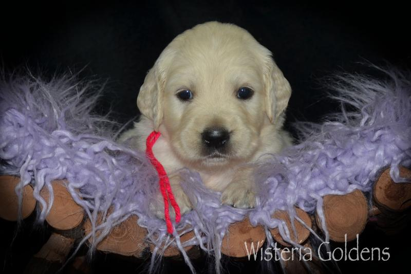misty litter born 08-12-2020 english cream golden retriever puppy pictures four weeks Wisteria Goldens #misty081220
