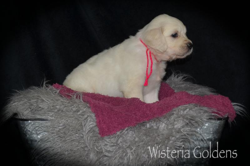 misty litter born 08-12-2020 english cream golden wisteria golden retriever puppy pictures 5 week