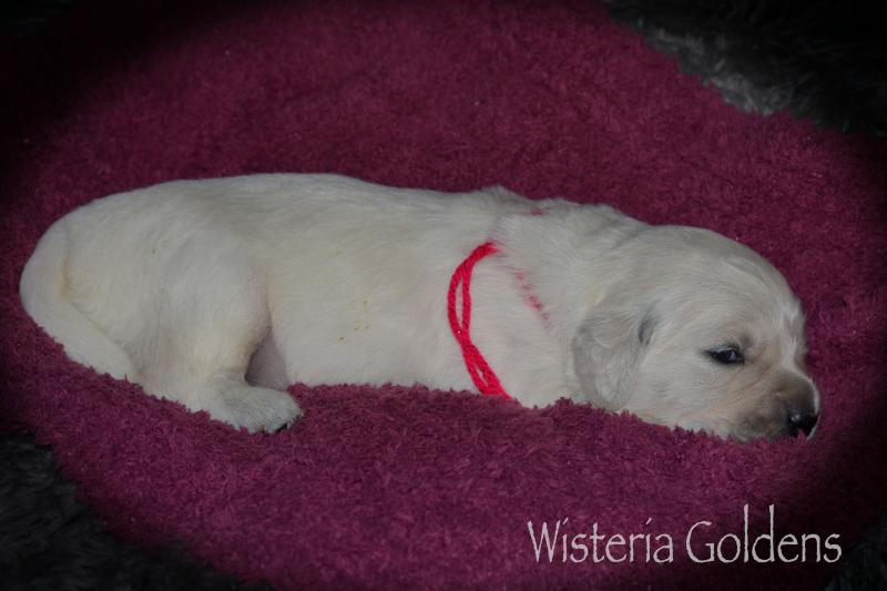 Raine Litter Born 08242020 English Cream Golden Retriever Puppy Pictures Two Weeks Wisteria Goldens #raine082420
