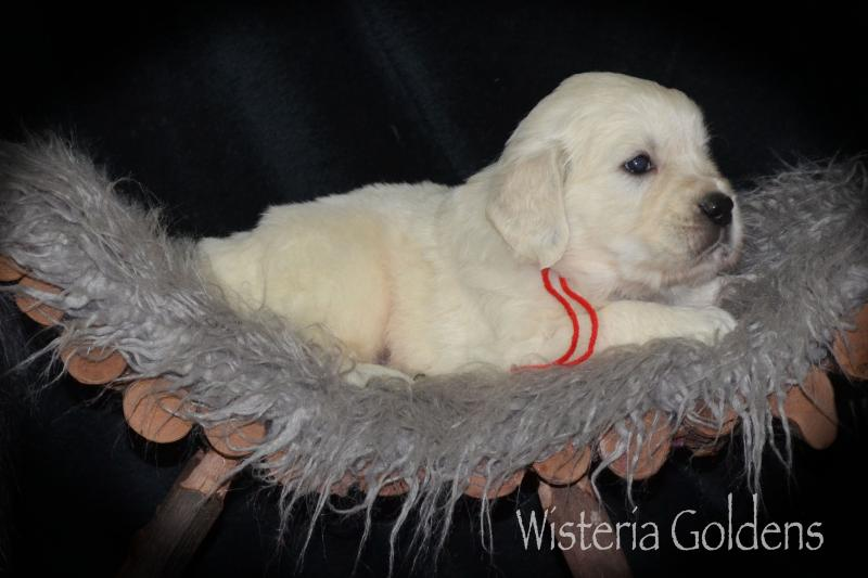 Raine (Sailor/Chance) & Ego– Litter Born 08-24-2020. English Golden Puppy Pictures Wisteria Goldens raised as part of our family until they become part of yours.