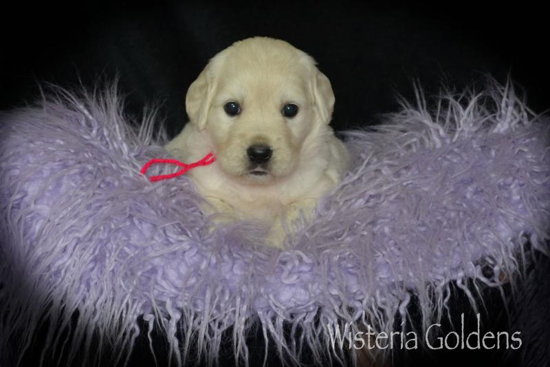 Trinity (Brighton/Chance) & Tahoe #trinity082920 English Cream Golden Retriever puppy pictures Four Weeks Wisteria Goldens raised as part of our family until they become part of yours.