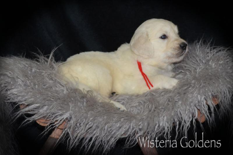 Trinity (Brighton/Chance) & Tahoe #trinity082920 English Cream Golden Retriever puppy pictures Four Weeks. Wisteria Goldens raised as part of our family until they become part of yours.