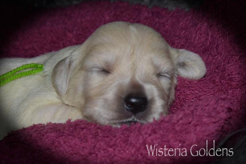 Trinity Litter Born 08-29-2020 English Cream Golden Retriever Puppy Pictures Wisteria Goldens #trinity082920