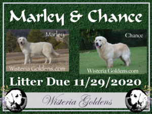 Available Puppies Marley (Halo/Ego) & Chance. Litter Due 11/29/20. English Cream Golden Retriever