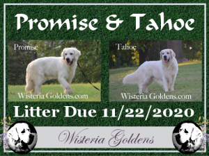 available puppies planned litters english golden wisteria goldens english cream planned puppies