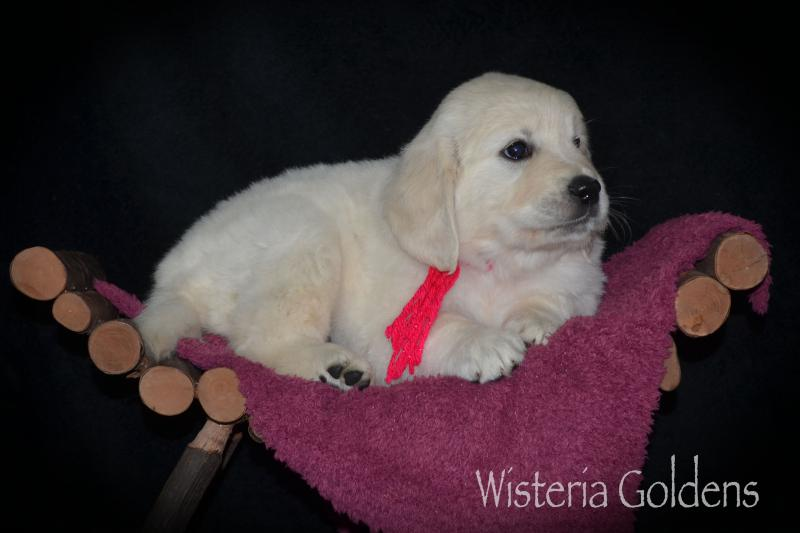 english cream golden retriever puppy six week pictures and playtime video #raine082420