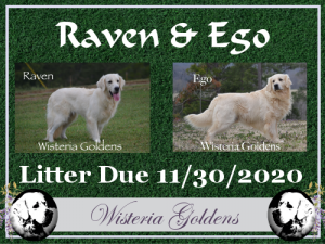 Available Puppies Raven / Ego Litter due 11/30/2020 English Cream Golden Retriever Puppies Wisteria Goldens Adoption Process Foundational Start