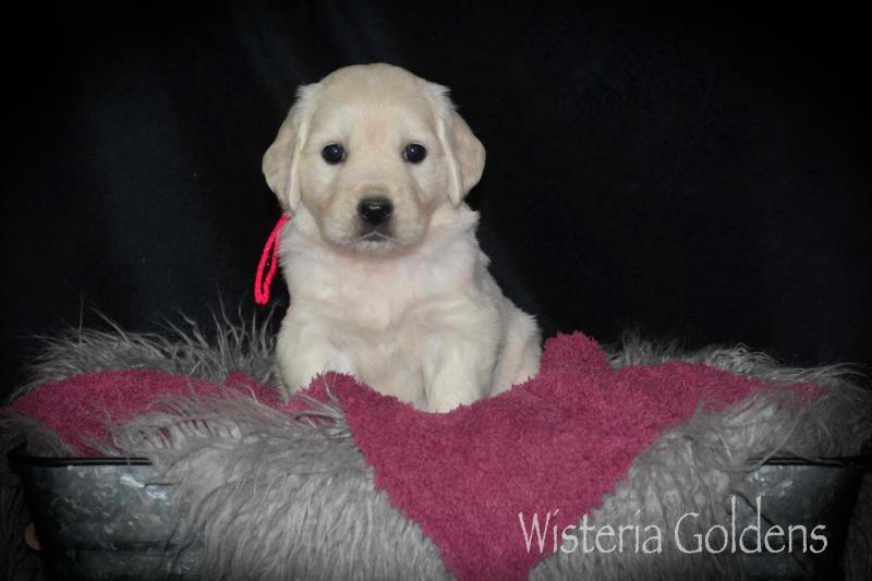 Five week puppy pictures English Goldens Wisteria Goldens AKC English Golden
