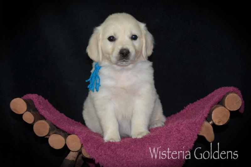 Six Week English Cream Golden Retriever Puppy Pictures Wisteria Goldens raised as part of our family until they are part of yours.